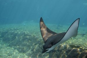 Spotted eagle ray, showing it's large head. Credit to Wikimedia for the photo.