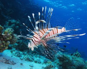 Lion fish (credit to Wikipedia for the picture)