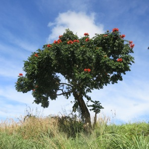 A flowering tree. These were all over the north of the island.