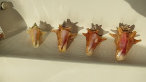 Conch shells we found on the beach in BVI