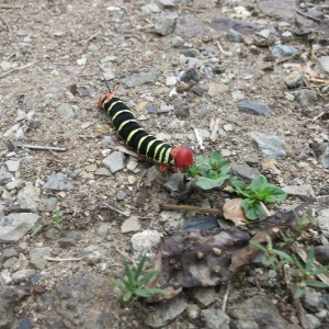 Four-inch caterpillar we commonly saw eating