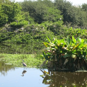 The Wakodahatchee Wetlands are the last step in the local water treatment plant's outflow. It is also a free country park with a  mile of boardwalk trails so people can observe the wildlife.
