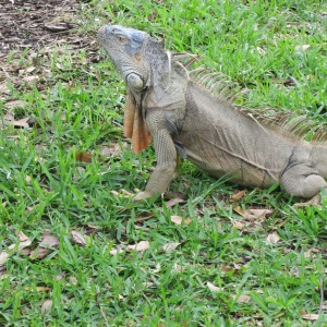 This iguana was in a park in downtown Fort Lauderdale