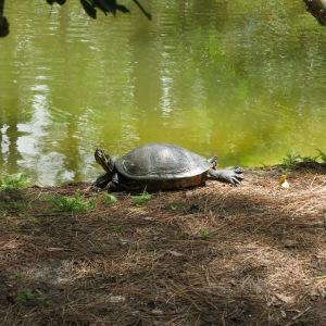 "Yogic turtle practicing ""up dog"" at Morakami"