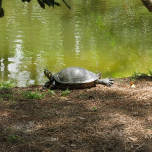 "Yogic turtle practicing ""up dog"" at Morakami"