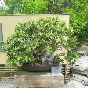 One of the bonsai trees at Morakami. A few were 400 years old.