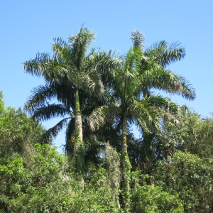 Royal palms are prolific native species in S Florida. They are also commonly planted in landscaping