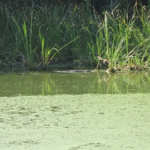 The largest alligator in the Fakahatchee sinkhole was at least 12 feet