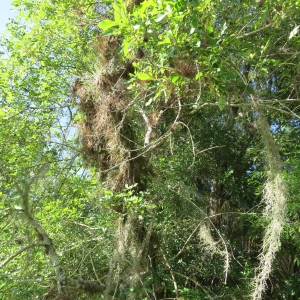 Can you spot the tree under the 1000 epiphytes growing on it?