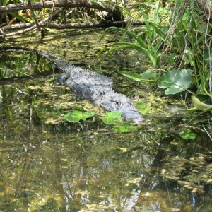 In Everglades National Park, the alligators can be found right on the edge of the trail