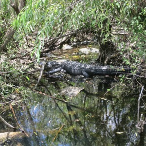 Can you spot the resting alligator?