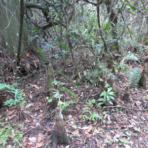 Can you spot the cypress knees? Cypress trees put up these odd growths; it is assumed they help stabilize the tree in the event of strong winds and soaked earth.