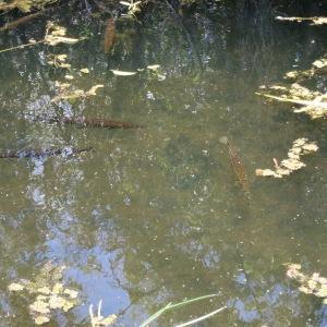 Can you spot the gar fish?