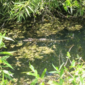 Can you spot the baby alligator?