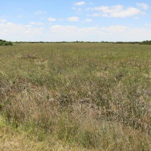 Sawgrass prairie in S. Florida