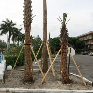 Many palms here are supported like this. They plant large trees by paring down the trunk, cutting a small circular root mass, and propping up the trees. We have seen thousands of these.
