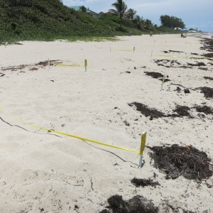 Our local beach has many turtle nests, all marked by a stake and tape.