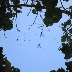 These are banana spiders, or golden silk orb-weavers. They are harmless and large (the big one here was 5 inches across including legs.) The webs have a yellow hue.