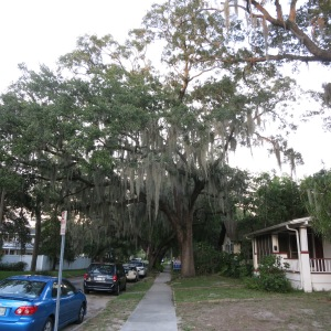 We stayed in this neighborhood in St Pete. Larger trees were draped in Spanish Moss.