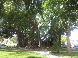Banyan tree in St Pete.