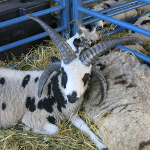 Four-horned sheep seen at the Ulster County Fair