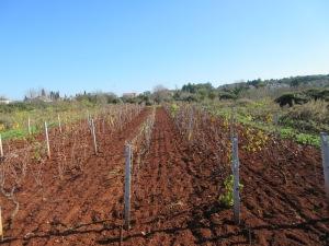 Fertile red soil on Šolta, here growing grapes.