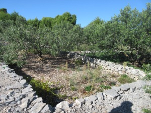 The soil is fertile but very rocky so the land is cleared and rocks stacked, often in small walls, like around these olive trees.