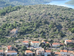 If you look between the olive trees you can see the rows of stacked rocks that both terraced the hill and cleared the land enough to farm it. Korčula Island.