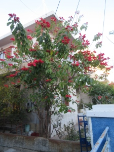 Poinsettia trees blooming in time for Christmas.