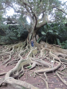 Jim dwarfed by an old rubber tree, Ponta Delgada, The Azores.