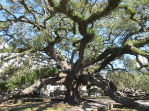 Old oak tree in downtown Jacksonville.
