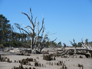 Boneyard Beach is full of dead trees and root wads.