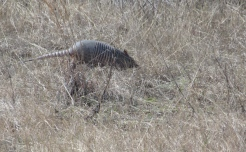 Armadillo, scurrying away from us at Amelia Island.