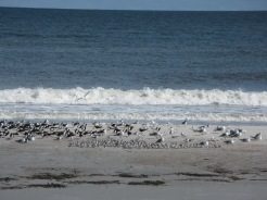 Shorebirds and gulls resting on Amelia Island.