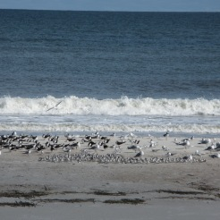 Shorebirds and gulls resting on Amelia Island.